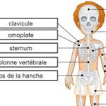 Os du Squelette Humain