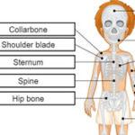 Os du corps humain en anglais