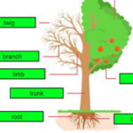 Parties de l'arbre en Anglais